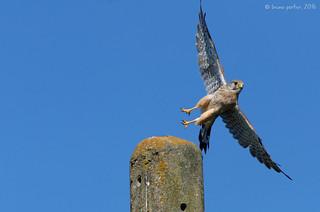 Kestrel, Faucon crécerelle, Torenvalk (Falco tinnunculus) - Remersdaal, BELGIUM