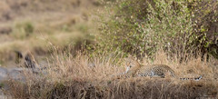 Leopard (Mike Schurmann) Tags: leopard africa entimcamp greatmigtarion masaimara mikeschurmann prints wildlife