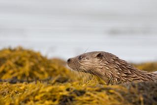 Otter. West coast Scotland.