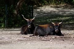 Double trouble (VII) (dididumm) Tags: heckcattle aurochs heinzheck lutzheck breed doubletrouble doublefun zucht rasse auerochse heckrind ifiranthezoo