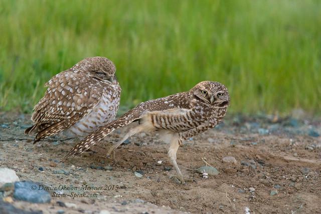 Burrowing Owl pair-Tia strikes a pose