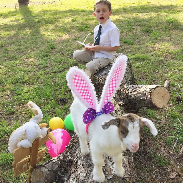 Dusty had figured out that Daisy had on the #bunnyears that Kim put on her. #easter #easter2015 #spring #goat #babygoat