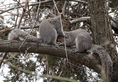 Squirrel love (Anita363) Tags: male fauna female yard mammal march rodent newjersey squirrel pair preening nj grooming highlandpark behavior graysquirrel courtship sciuridae sciuruscarolinensis easterngraysquirrel sciurus allopreening