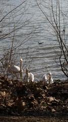 Three swans (grinnin1110) Tags: river germany wiesbaden hessen main swans mainufer maaraue mainzkostheim