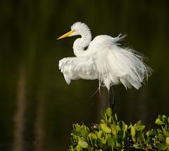 egret feathers (ButterShug2) Tags: florida breeding merrittisland plummage