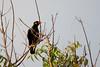 Common Hill Myna (Jerold Tan) Tags: bird gardens singapore hill botanic common avian religiosa myna gracula