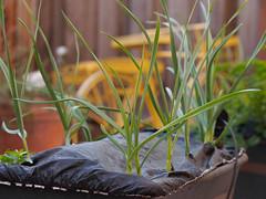 Spring Garlic (Scott Atwood) Tags: garden gardening garlic earthbox springgarlic