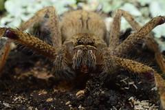 Hairy Spider (Leela Channer) Tags: hairy brown macro closeup spider moss branch kenya arachnid bark lichen arthropod
