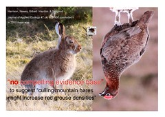 Controversial  culling of mountain hare Lepus timidus  a dubious moorland management technique for  red grouse  Lagopus lagopus (BSCG (Badenoch and Strathspey Conservation Group)) Tags: lepus hare onekind raptorpersecutionscotland annexv wildlifemanagement redgrousemanagement appliedecology indiscriminate nativemammal overculling moratorium moorlandmanagement eagle