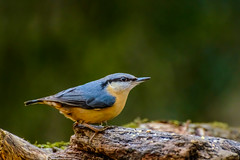 Nuthatch (Eric Goncalves) Tags: color bird nature beautiful forest spring nikon dean peaceful gloucestershire nuthatch cannop nikonafsvr70300f4556gifed nikond800 ericgoncalves