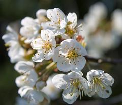 2015_30 (casirfm) Tags: flowers macro primavera canon aprile ciliegio 2015 besanainbrianza casirfm canoneos1100d brianzashire