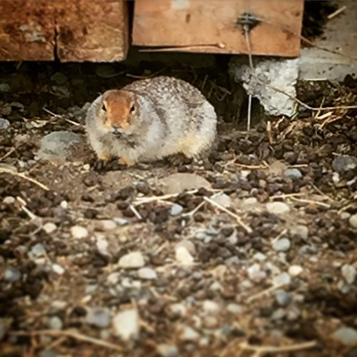 Male Arctic Ground Squirrel emerge early from hibernation to fight over breeding grounds. Pictured is one of the many squirrels living under structures at #Yukon #Wildlife Preseve.#yxy #Canada The Arctic Ground Squirrel is one of the largest species of gr