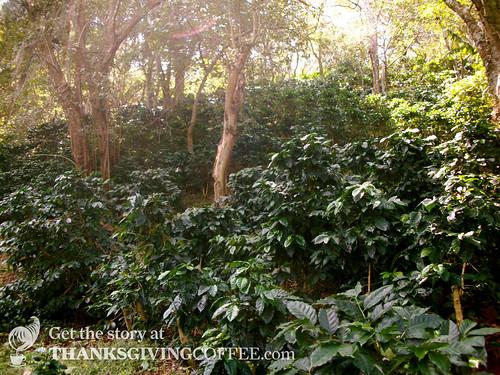 Coffee Trees in Nicaragua