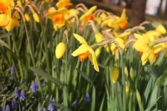 IMG_3480 (Gkmen Kmrt) Tags: flower tulip 2015 amlca laleler