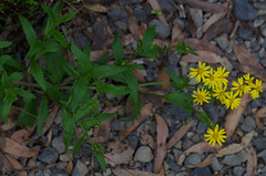 Senecio vagus ssp eglandulosus, Thunderbolts Lookout, Barrington Tops National Park, NSW, 07/02/15 (Russell Cumming) Tags: plant newsouthwales asteraceae senecio muswellbrook barringtontopsnationalpark thunderboltslookout seneciovagus seneciovaguseglandulosus