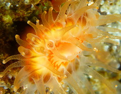 Devonshire Cup Coral (K Summerbell) Tags: uk sea cup nature coral scotland marine underwater wildlife anemone freediving snorkelling devonshire gairloch westerross