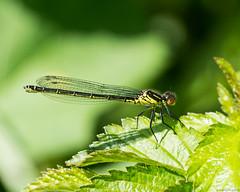 Red-eyed Damselfly - Erythromma najas (Jerry Hawker) Tags: damselfly odonata redeyeddamselfly erythrommanajas