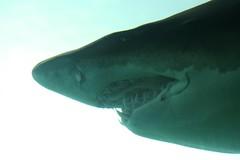 IMG_5973 (jordantea) Tags: grey zoo aquarium shark sand tiger nurse pittsburghzoo ppg sandtiger sandtigershark ppgaquarium greynurseshark