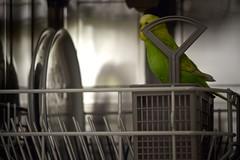 Ich seh' dich! (sigrun_e) Tags: canon eos sigma budgie dishwasher grn wellensittich 700d sigrune geschirrsphler