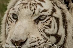 IMGP1992 (acornuser) Tags: uk kent pentax sanctuary bigcats whitetiger k3 wildlifeheritagefoundation whf