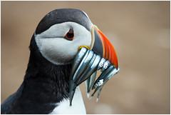 Puffin (tina777) Tags: sea orange white black bird wales island eyes sand beak feathers puffin eels seabird skomer