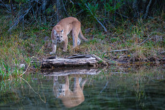 Cougar Reflection (blackhawk32) Tags: reflection cat cougar mountainlion