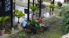 floristas (Mayan_princess) Tags: chiapas argovia finca resort caf coffee kaffee paraso paradise vegetacin vegetation verde green ro river spa relajacin relax forest selva orgnico autosostenible