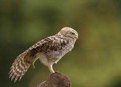 Little-Owl-Juv-4917 (Kulama) Tags: littleowl owl birds birdsofprey nature wildlife woods land grass summer canon7d sigma150600c563