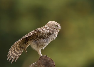 Little-Owl-Juv-4917