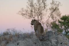 Leopard at sunrise (Dakinepics00) Tags: southafrica africa safari sony wildlife sonya7rii a7rii mirrorless 85mm gmaster glens simbambili leopard sunrise