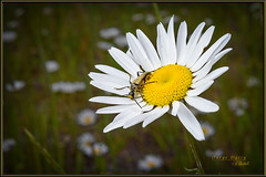 Oxeye Daisy (Maclobster) Tags: oxeyedaisymanningpark off camera flash ttl cord golden haired flower longhorn beetle