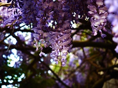 Belgian wisteria bokeh (wellingtonandsqueak) Tags: purple belgium brugge wisteria