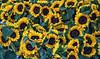 Sunflowers (msuner48) Tags: d600 acr5 cs4 topazlabs nikcollection berkeleyca montereymarket sunflowers plants coloful nikonafs24120mmf4ged