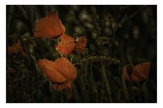 Mohnblten (lotharwillems) Tags: mohn mohnblten blte blten getreide feld natur blume korn naturfotograf poppy poppies flower flowers cornfield nature grain natural naturephotographer