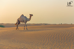 through the heat (impressivelymoments) Tags: camel desert dubai sand beautiful warm kamel dromedar animal potd canon photography photo 6d shoot tier nature natur impressivelymoments impressive