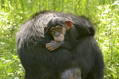 Do You Have Too? (018631) (Mike S Perkins) Tags: chimp kansascityzoo grooming green mother daughter baby infant feelings bored pantroglodytes