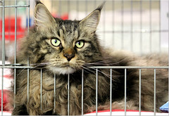 Happy Caturday ! (Simply Viola (+Off - On )) Tags: pet animal cat feline catshow mainecooncat mostrafelina sfilatadeigatti