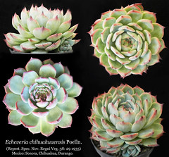 Echeveria chihuahuaensis (collage) (Succulents Love by Pasquale Ruocco (stabiae)) Tags: echeveria chihuahuaensis collage cactusco crassulaceae mexico pasqualeruocco piantegrasse piantagrassa stabiae succulentslove succulents succulente succulent succulenta chihuahua durango sonora forumcactusco