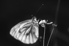 Monochrome Wood White (jarnasen) Tags: d810 nikon sigma105mmf28 macro closeup handheld freehand butterfly schmetterling fjril mono bnw monochrome blackandwhite svartvit nature outdoor antennas flower copyright jrnsen jarnasen sweden sverige dof depthoffield short noiretblanc