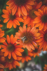bee's life (kderricotte) Tags: 35mm18 sonya6000 bee flower plant echinacea summer