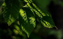 Shadow Dancing (Wes Iversen) Tags: sunlight texture nature leaves leaf shadows bokeh michigan textures veins nikkor50mmf18 hcs grandblanc clichesaturday