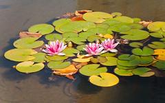Tanner Springs Lotus Flowers Pond 3 of 3 (Orbmiser) Tags: 55200vr d90 nikon oregon portland summer lotusflower lilypads pond tannersprings