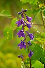 Larkspur [Delphinium glaucum] (MIKOFOX  Show Your EXIF!) Tags: canada yukon colorpurple colorblue fujifilmxt1 june flower xt1 wildflower mikofox summer showyourexif xf18135mmf3556rlmoiswr