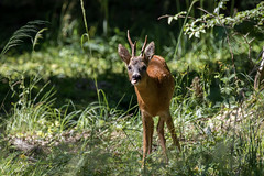 Photo grimace (regisfiacre) Tags: chevreuil brocard animal sauvage wild fort forest woods nature mammifre roe deer canon 100400mm faune fauna mammal mammals