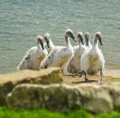 cuties on parade (watergypsyrach) Tags: rotherhamwildlife thryberghcountrypark rotherham southyorkshire ukwildlife england cute fluffy cygnets muteswan nikond3200 nature