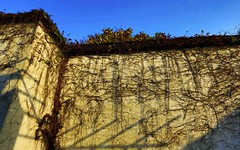 A wall with climbing roots (Clement Tang **away**) Tags: chinaeast travel winter shadows root plantroot lateafternoon shades minimalism nature nationalgeographic handheldhdr landscape bluesky pattern abstract wuzhenwatervillage  suzhou    concordians scenicsnotjustlandscapes