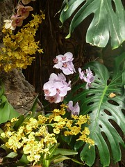 Chicago, Lincoln Park Conservatory; Orchid Medley (Mary Warren (7.1+ Million Views)) Tags: chicago lincolnpark nature flora plants lincolnparkconservatory yellow pink blooms blossoms flowers orchids