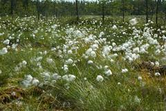 Linaigrettes (Samuel Raison) Tags: finlande finland linaigrettes nature tourbire vgtation nikon nikond3 nikon2860mmmicroaf