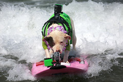 "Surf Dog Competition-EK-073016 (71) • <a style=""font-size:0.8em;"" href=""http://www.flickr.com/photos/25952605@N03/28622635582/"" target=""_blank"">View on Flickr</a>"