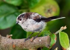 Juv. Long-tailed Tit, garden, 6th August 2016 (Lathers) Tags: aegithaloscaudatus juvlongtailedtit garden 6thaugust2016 canonef500f4lisusm canoneos1dx nuneaton warwickshire